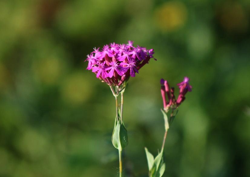 Projekt Blume 2